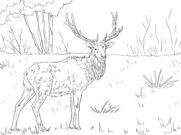 Small Picture Roosevelt Elk coloring page Free Printable Coloring Pages