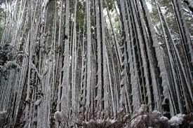 京都観光情報大雪の中嵐山観光にいってきた竹林の小径の竹は