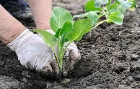 Planting Cabbage