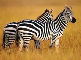 Zebra Wallpapers - Top Free Zebra ...