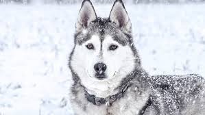 Image result for picture of husky