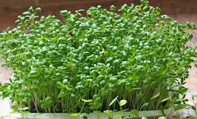 Cách trồng rau mầm không tốn đất không mất nhiều không gian cho gia đình