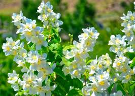 What Is Idaho Known For Syringa Idahos State Flower Also Known As A Mock Orange