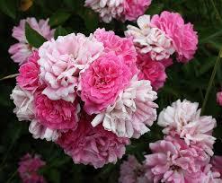 Rosa cinnamomea - Michigan Flora