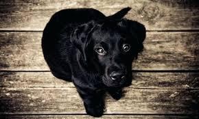 best flooring for pets. Black Dog On Wood Floor Best Hardwood Floors For Dogs Urine Odor Removal The Flooring Pets