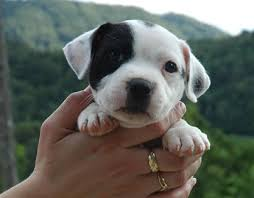 white pitbull terrier puppies. Interesting Terrier American Pit Bull Terrier With White Pitbull Puppies I