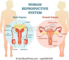 Human Reproductive System Vector Illustration Diagram Male And Female