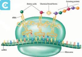 Protein sendiri adalah zat penyusun dalam setiap tubuh makhluk hidup. Sintesis Protein Pengertian Dan Prosesnya Centipedia