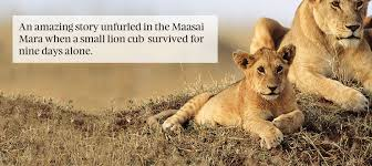 lioness and cubs quotes. Perfect And The Story Of The Lost Lion Cub To Lioness And Cubs Quotes S