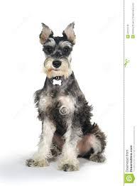 Cute Miniature Schnauzer Puppy Dog On White Background Stock