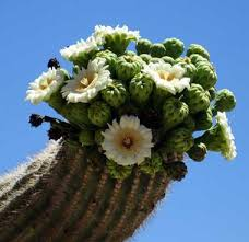 saguaro cactus blossoms the state flower of arizona