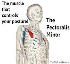 From i.pinimg.com the pecs (or the pectoral muscles) the large muscles of the chest, used to draw the arms together in front of the body as in pushups or bench press. The Overlooked Muscle That Is Provoking Your Bad Posture The Natural Posture