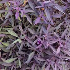 purple sweet potato plant. Interesting Purple Ipomoea Batatas U0027Ragtimeu0027 Ragtime Sweet Potato Vine In Purple Plant C