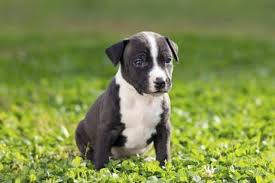 pitbull dog blue nose black and white. Simple Nose Command Your Dog To Sit It Is Easier Examine Dogu0027s Nose While It  Sitting Still If You Cannot Get Still For Long Take A Photograph Of Its  On Pitbull Dog Blue Nose Black And White I