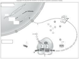 Dna Rna Venn Diagram Dna Vs Rna Venn Diagram Worksheet Answer Key Michaelhannan Co