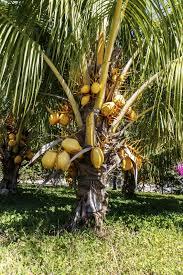 planting coconut palms growing coconut trees from coconuts fertilizing coconut palm trees how and when to fertilize coconut palms