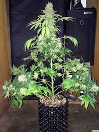 This Marijuana Plant was allowed to grow tall and untrained - notice how  only one cola