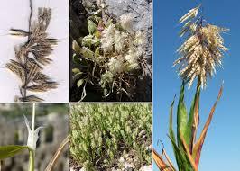 Lamarckia aurea (L.) Moench - Portale sulla flora del Parco ...