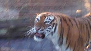 tiger roar side view. Unique Roar Tiger Roar Inside Side View G