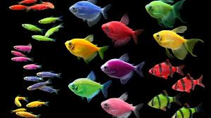 the glofish brand offers consumers 17 lines with four species of fish in six fluorescent