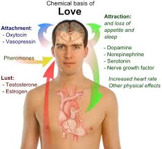 chemistry of love expository essay example chemical basis of love
