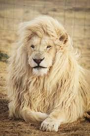 lion lying on ground photo – Free ...