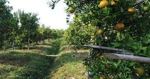 farmer look at orange fruit tree farm