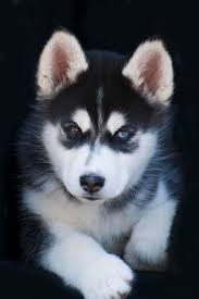 cute dogs and puppies husky. Fine Husky Siberian Photograph  Adorable Husky Sled Dog Puppy By Kathy Clark On Cute Dogs And Puppies