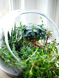 succulents plants glass bowl growing decoration in large
