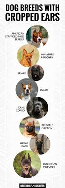 Pitbull Ear Crop Chart Ear Cropping In Dogs Price Legality Surgery Aftercare