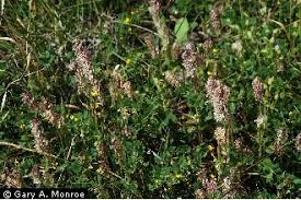 Plants Profile for Lamarckia aurea (goldentop grass)