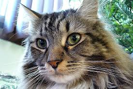 The Maine Coon Or Mancoon The Biggest Domestic Cat