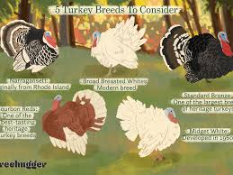 So to gain a pound on thanksgiving, you would have to … according to eatturkey.com, approx. How To Choose Turkey Breeds