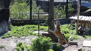 He sank his teeth into me\u0027: Zookeeper mauled by tiger speaks out ...