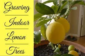 How To Grow Indoor Meyer Lemon Trees Dengarden
