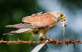 Britains Birds Of Prey The Country Life Guide To Raptors