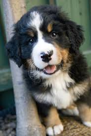 bernese mountain dog mix. Modren Mountain Golden Mountain Dog Clever And Cheerful Intended Bernese Mix N