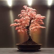 All'interno della sezione singole piante trovi tutte le schede delle principali piante d'appartamento. Acero Giapponese In Vaso Come Coltivarlo Casina Mia