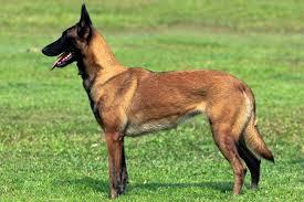 belgian dog