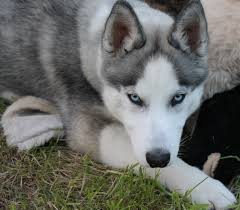 grey husky puppies with blue eyes. Simple Grey Vote For Me On Grey Husky Puppies With Blue Eyes U