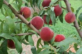 Fruit Tree TipsFruit Tree Nursery North Carolina