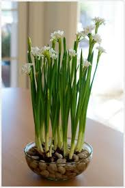 Paper White Flower Bulb How To Grow Paper White Bulbs Indoors Mosser Lee