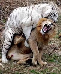 pitbull dog vs lion. Exellent Pitbull They Are Fighting With Pitbull Dog Vs Lion