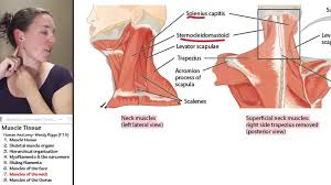Neck Muscle Chart Muscle 7 Muscles Of The Neck