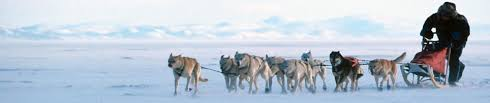 dog sled rides fairbanks alaska sled dog tours and adventures bill cotter
