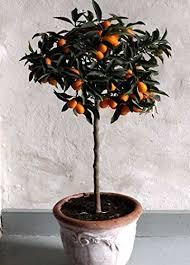 NAGAMI KUMQUAT TREE  Just Fruits And ExoticsKumquat Tree Not Bearing Fruit