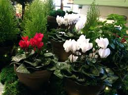 office plants no light. Office Plants Low Light No Small Tall Cyclamens A .