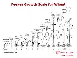 Cotton Growth Stage Chart Identifying Wheat Growth Stages Using The Feekes Scale