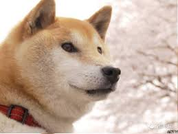 doge shiba. Unique Shiba CCTV On Twitter  And Doge Shiba G