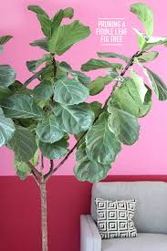 ask the expert diy project etc ispydiy fiddlefig4 ispydiy fiddlefig ispydiy fiddlefig2 it s been a year since i bought my fiddle fig leaf tree